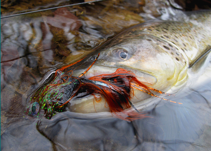 Streamer fly brown trout.