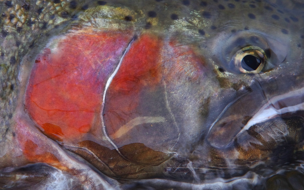 TROUT AND STEELHEAD: STEALTH FUNDAMENTALS OF TROUT NINJAS [VIDEO]