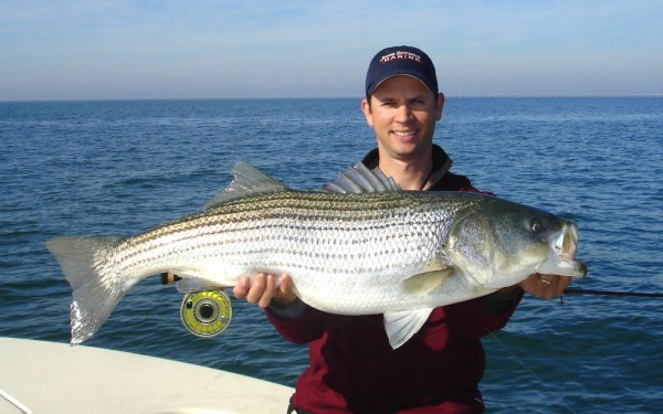 Fly fishing for striped bass Chesapeake bay.