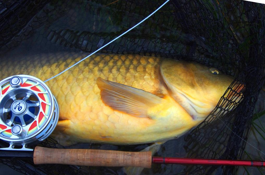 Fly fishing carp. Great Lakes.