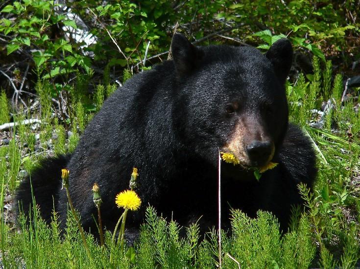 Travel and shipping bear spray. Black bear.