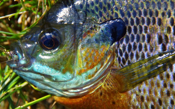 Fly fishing for bluegill.