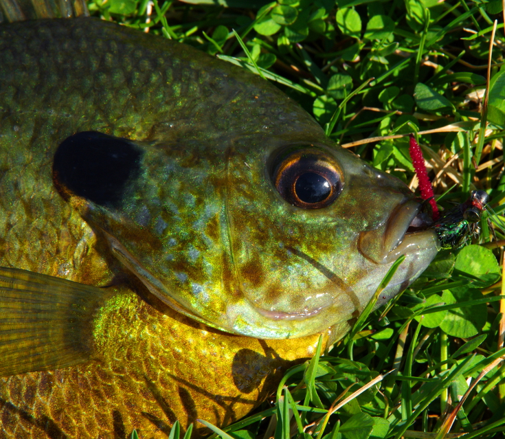 Fly fishing for bluegill and sunfish.
