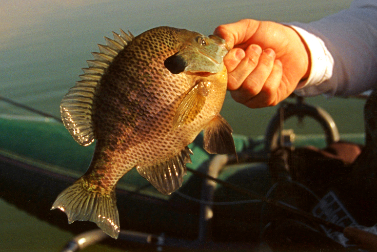 Fly fishing for bluegill.