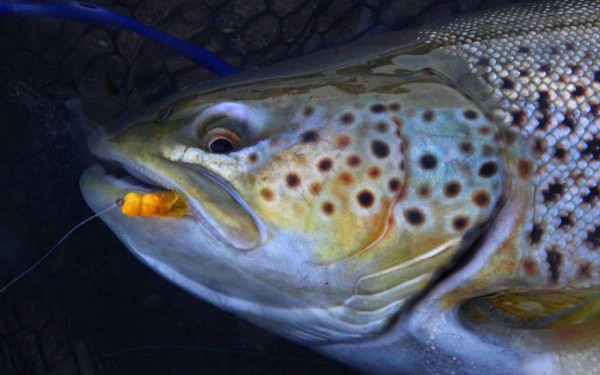 Egg paterns brown trout.
