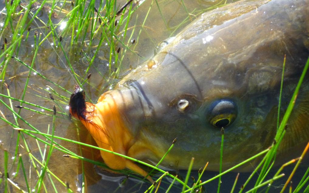 Fly fishing carp tactics.