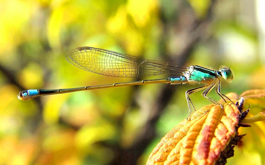 Fly fishing damselflies.