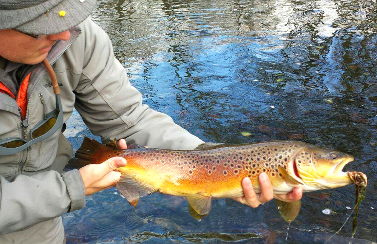 Streamer fishing fall brown trout.
