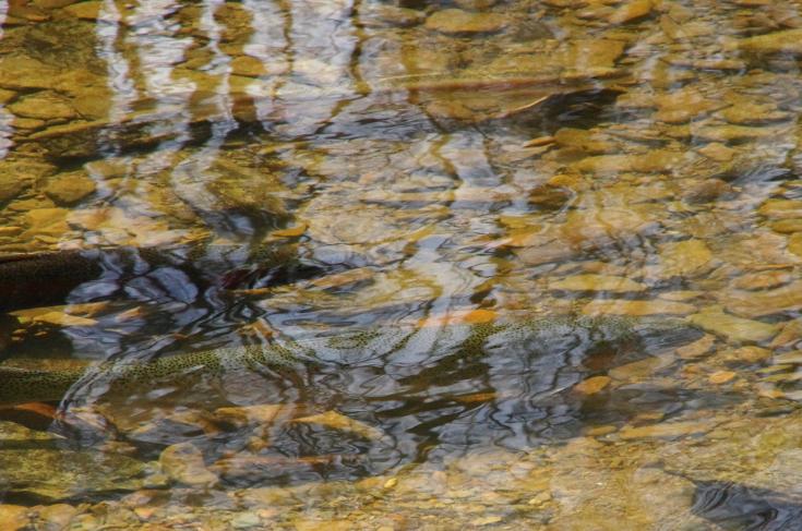 Steelhead in clear water.