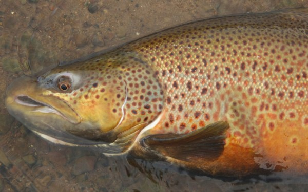 Fly fishing Great Lakes brown trout