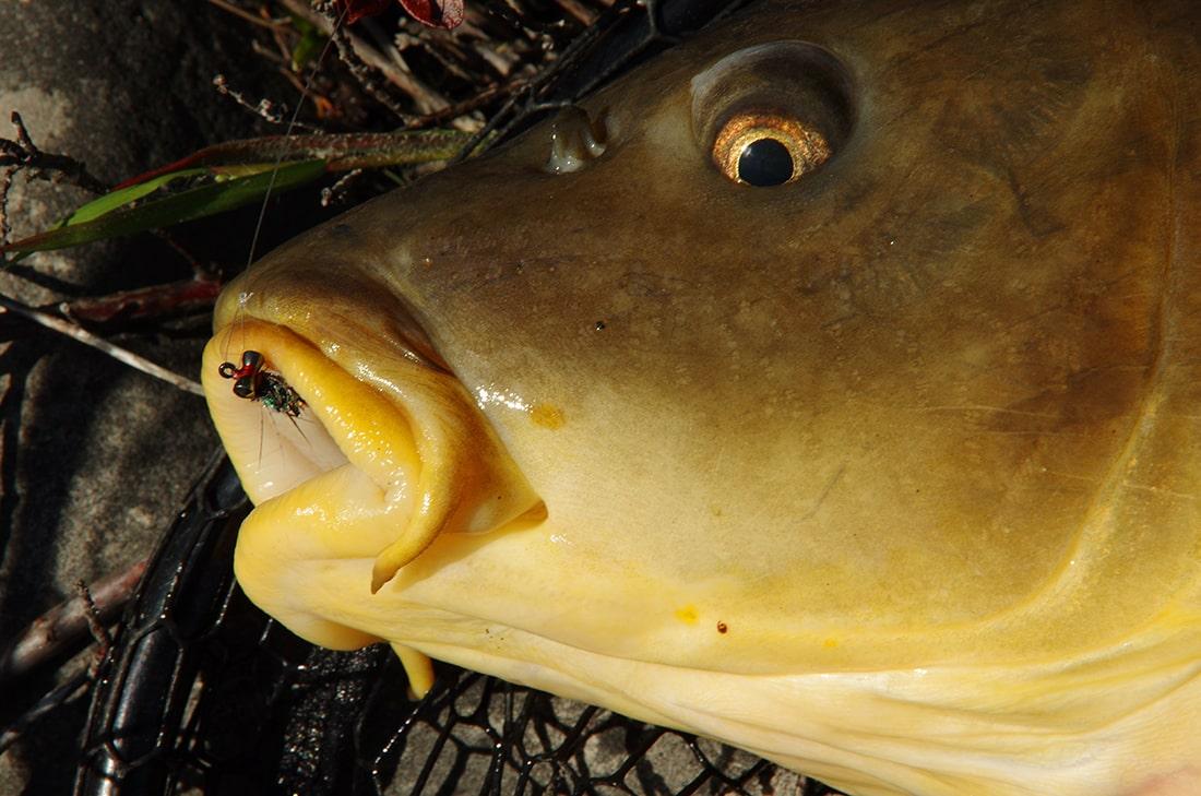 Hybrid carp on the fly